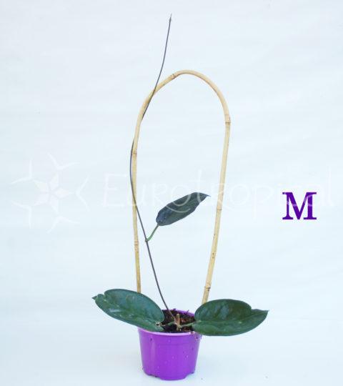 archboldiana-m-cm