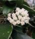 hoya-acuta-variegata-cm