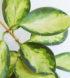 hoya-australis-lisa3-cm-web