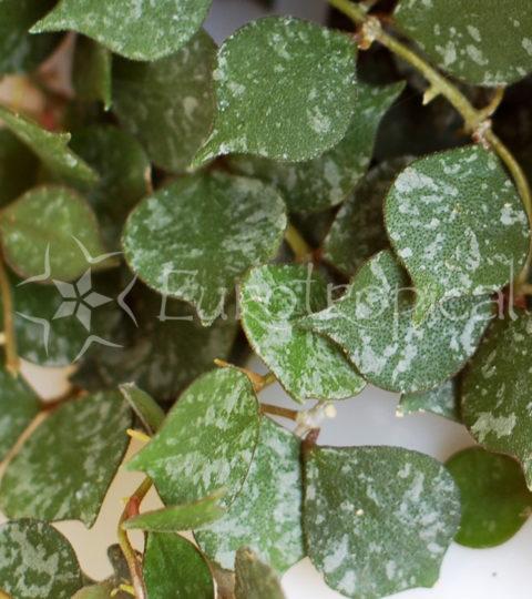 hoya-curtisii-1-2-cm