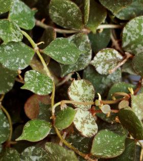 Hoya curtisii 3