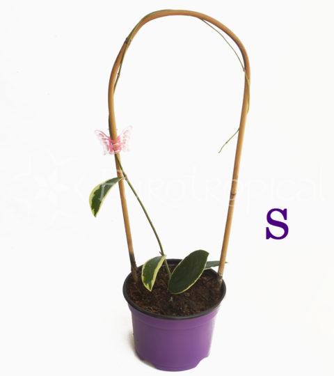 acuta variegata web cm