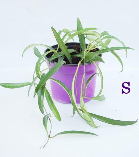 angustifolia-2retocado