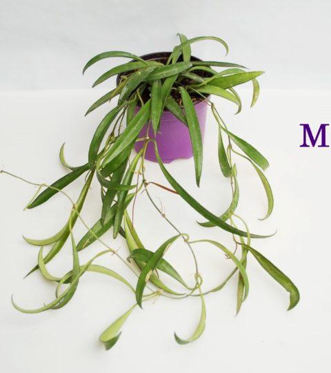 angustifolia-3rr