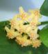 Hoya biakensis 1
