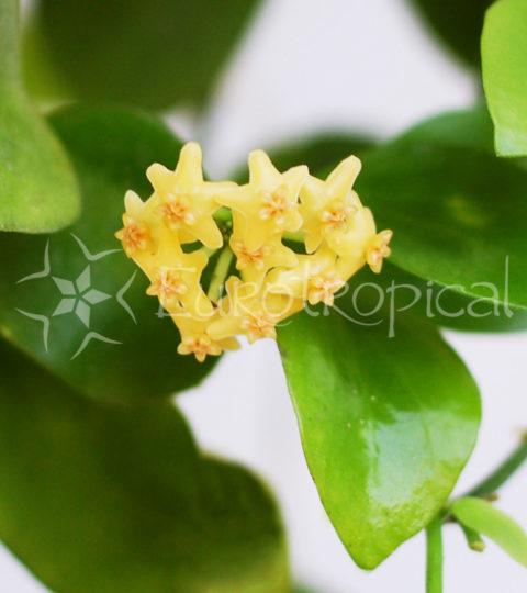 Hoya biakensis 2