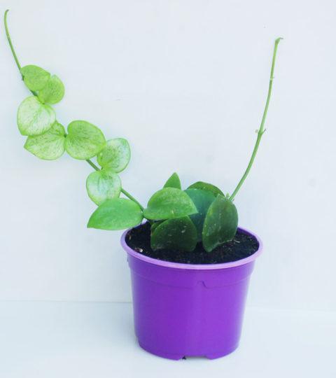 Hoya biakensis 4