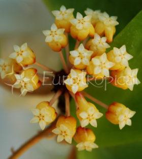 Hoya bicolor 1