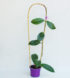 Hoya bicolor 2