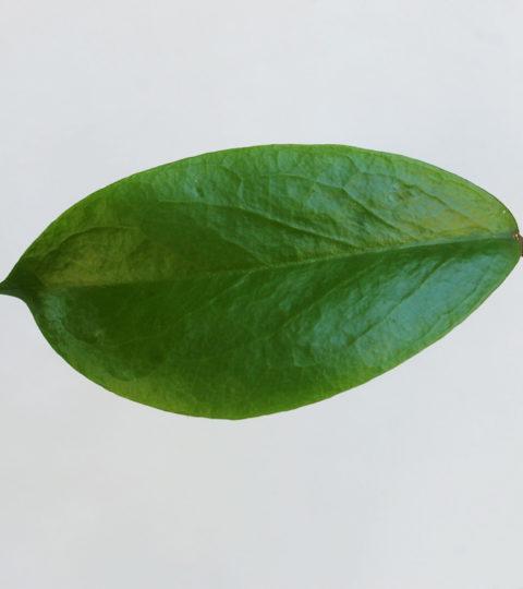 Hoya bicolor 3