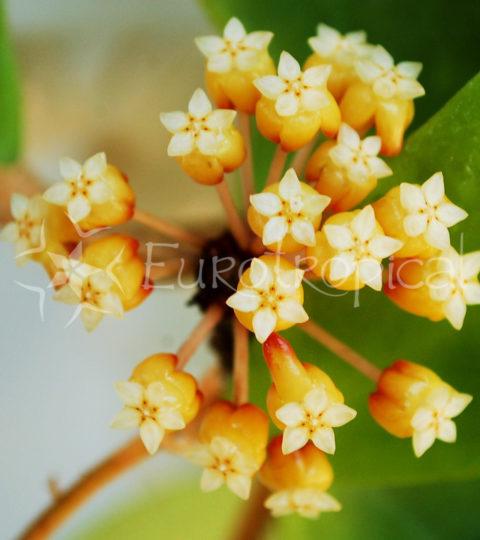 Hoya bicolor 4