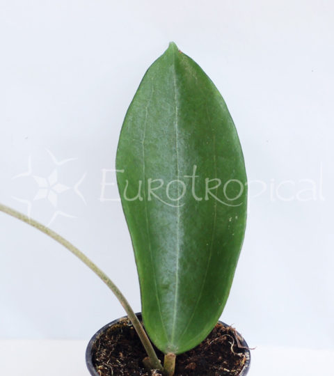 hoya-cinnamomifolia-var