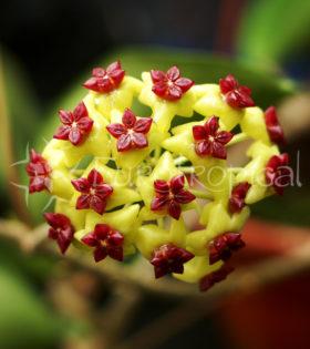 Hoya cinnamomifolia var. cinnamomifolia 1