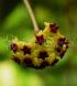Hoya cinnamomifolia var. cinnamomifolia 2