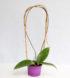 Hoya cinnamomifolia var. cinnamomifolia 3