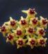 Hoya densifolia 1