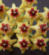 Hoya densifolia 2