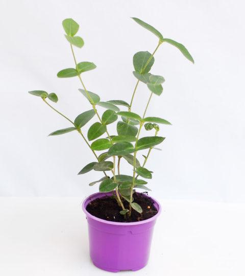 Hoya densifolia 3