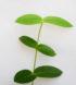 Hoya densifolia 4