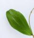 Hoya erythrina 2