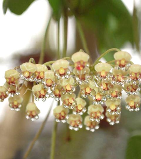 Hoya incurvula 1