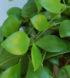Hoya incurvula 3