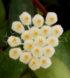 Hoya lacunosa 1