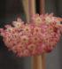 Hoya latifolia 1