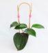 Hoya latifolia 2