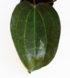 Hoya latifolia 3
