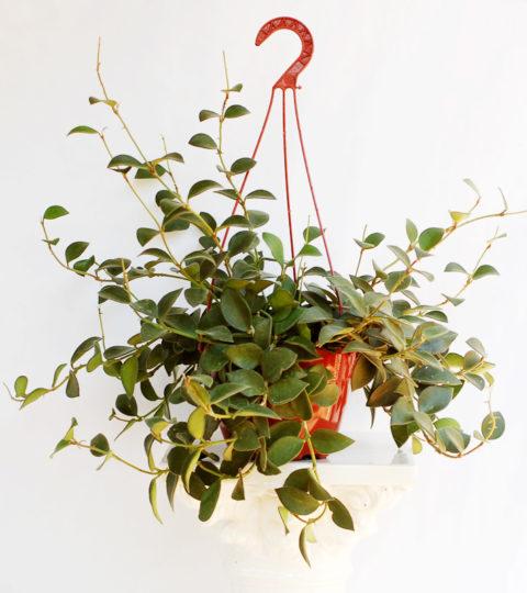 Hoya nummularioides 2