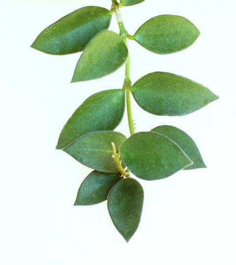 Hoya nummularioides 3