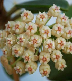 Hoya pachyclada red corona 1