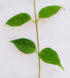 Hoya paziae 2