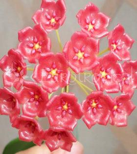 Hoya siariae red 1