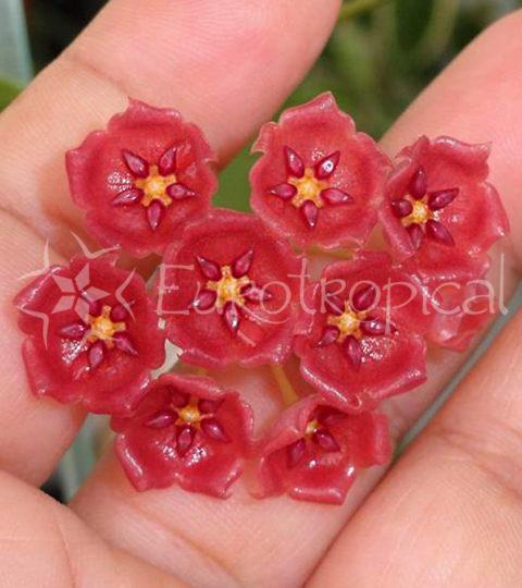 Hoya siariae red 2