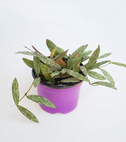 Hoya sigillatis 2