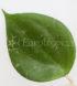 hoya-balaensis-2-cm