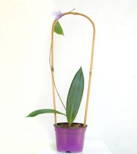 hoya-benguetensis-1