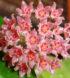 hoya-camphorifolia-1