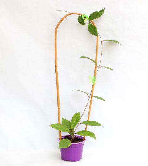 Hoya camphorifolia 3