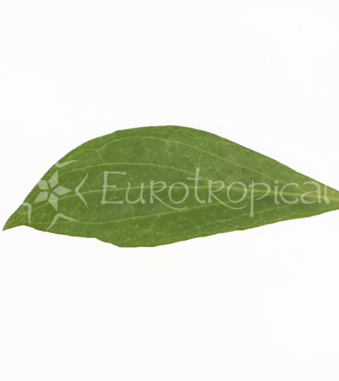 hoya-camphorifolia-4-cm