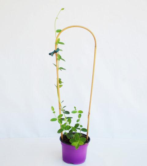 Hoya cumingiana 2