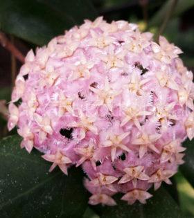 Hoya erythrostemma cotton candy 1