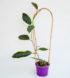 hoya-macrophylla-albo-marginata-1