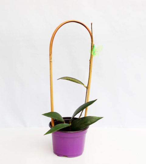 Hoya micrantha 1