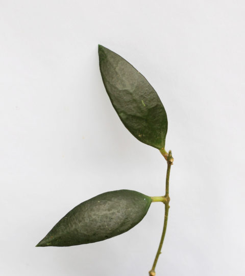 Hoya micrantha 2