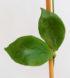 Hoya oblongata 4