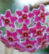 hoya-pubicalyx-cv-silver-pink-2