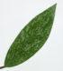 hoya-pubicalyx-cv-silver-pink-4